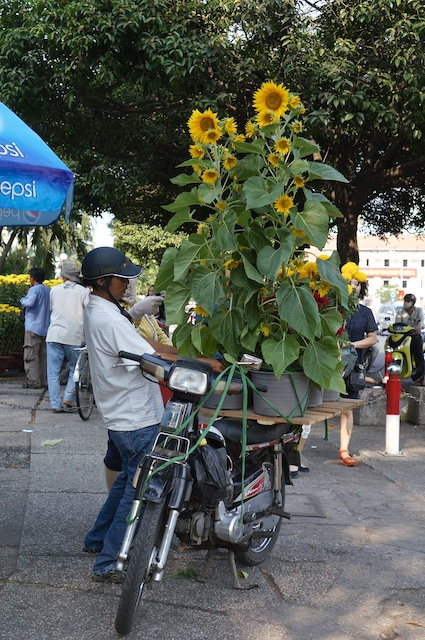 Transporting a load of 6' sunflowers? You can transport almost anything with a motorbike.