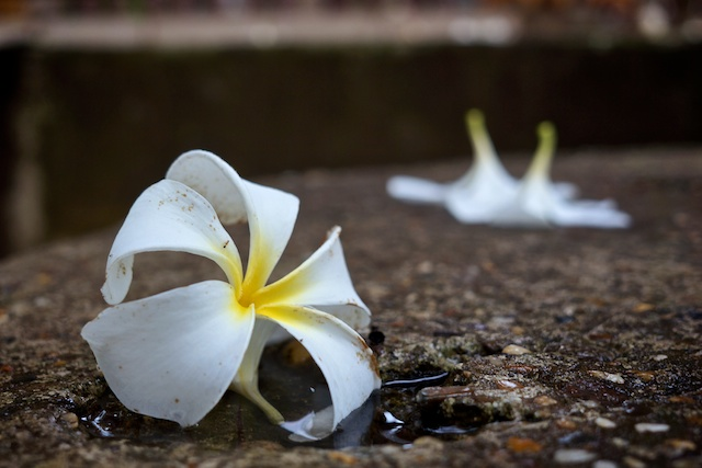 Fallen frangipani after the rain