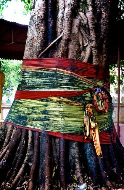 temple tree in Vientiane, Laos
