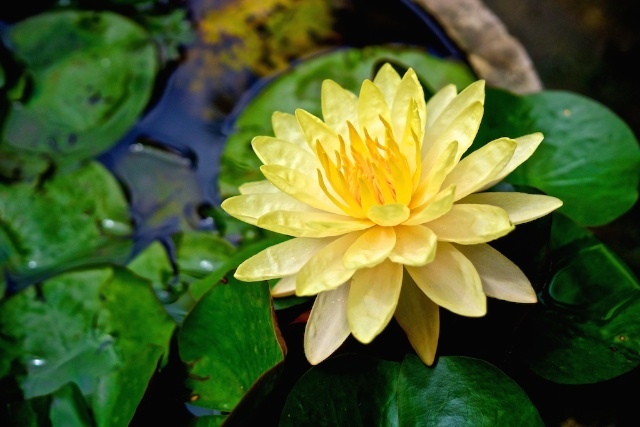 Yellow Water Lily in Chiang Mai minisuitcase.co.uk