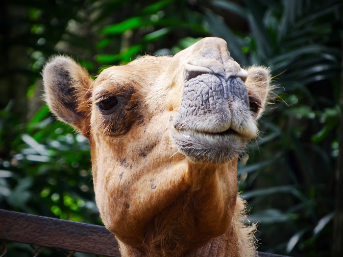 Smiling Camel Malaysia Travel Blog