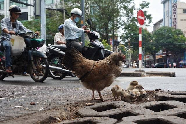 Hen and her chicks at a road junction