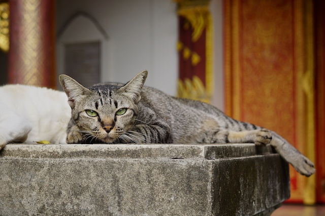 wat chiang man cat
