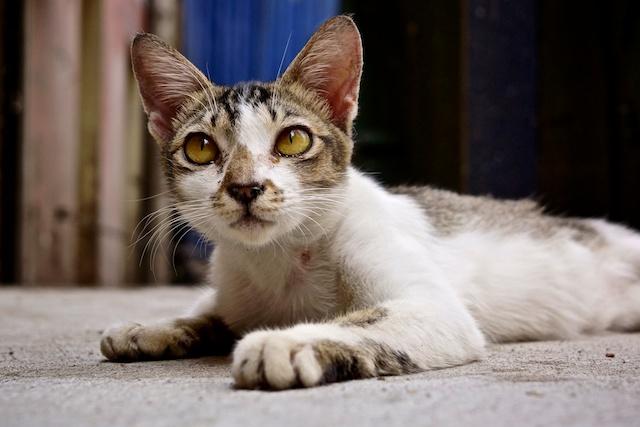 Cat in Kuala Lumpur