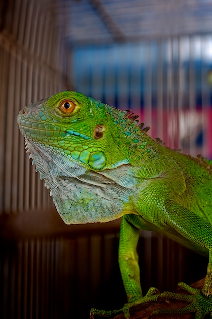 Iguana in a cage at a petshop in Kuala Lumpur